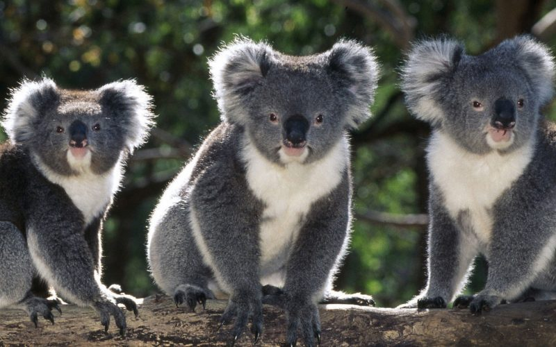 Коалы Австралия